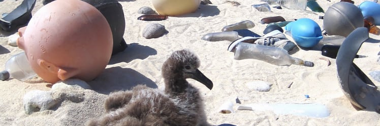 An albatross chick sits along a white sand beach at the Midway Atoll Wildlife Refuge amid plastic that covers the area even though it is not inhabited by humans. (NOAA photo)