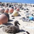 An albatross chick sits along a white sand beach at the Midway Atoll Wildlife Refuge amid plastic that covers the area even though it is not inhabited by humans.